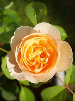 Salah satu bunga termahal di dunia, Juliet Rose. Bunga ini dihargai sekitar Rp 57 miliar.