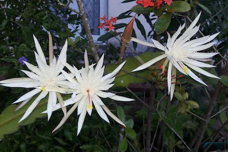Ilustrasi bunga kadupul.